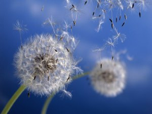 345660-FB~Dandelions-Blowing-in-the-Wind-Posters messiah edu