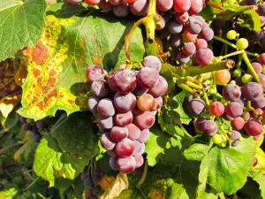 Grape vine 2