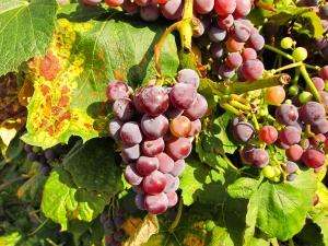 Grape vine 2